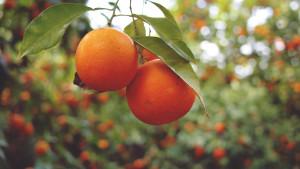 soczyste pomarańcze na gałązce