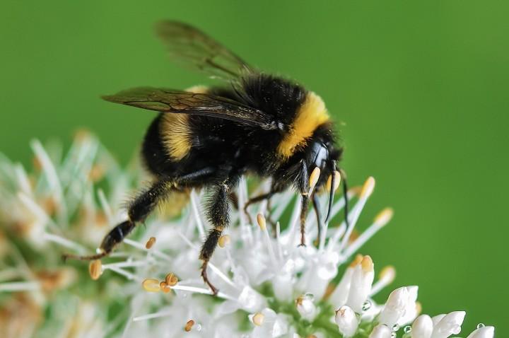gruby trzmiel zbierający pyłek z kwiatka