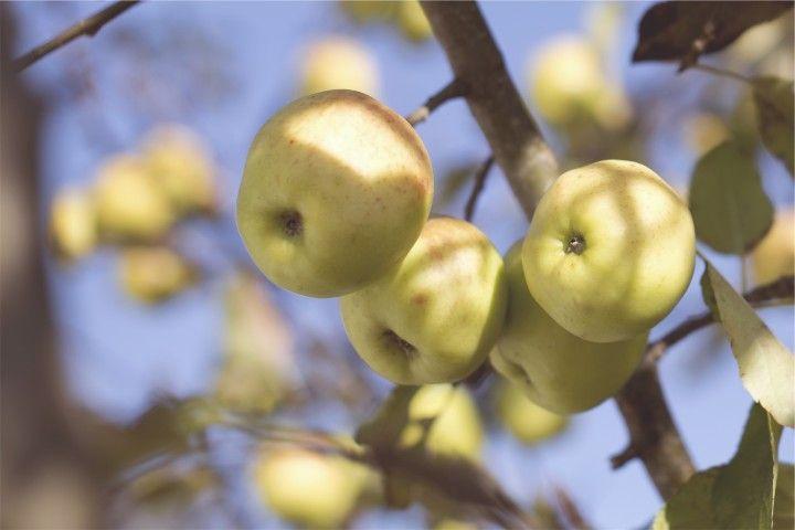 jabłuszka na gałęzi w słońcu