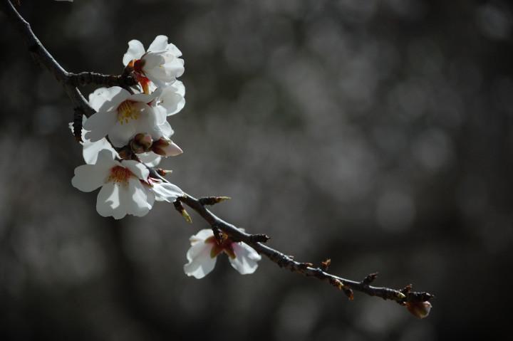 kwitnący kwiat jabłoni na biało-czarnym tle