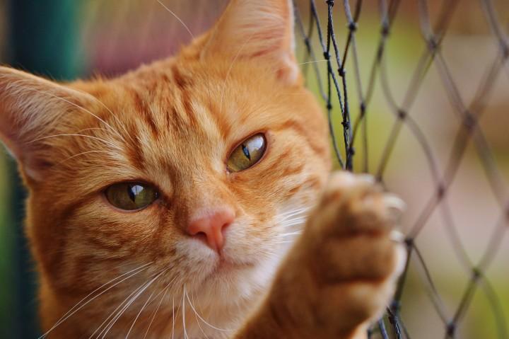 pręgowany rudy kot