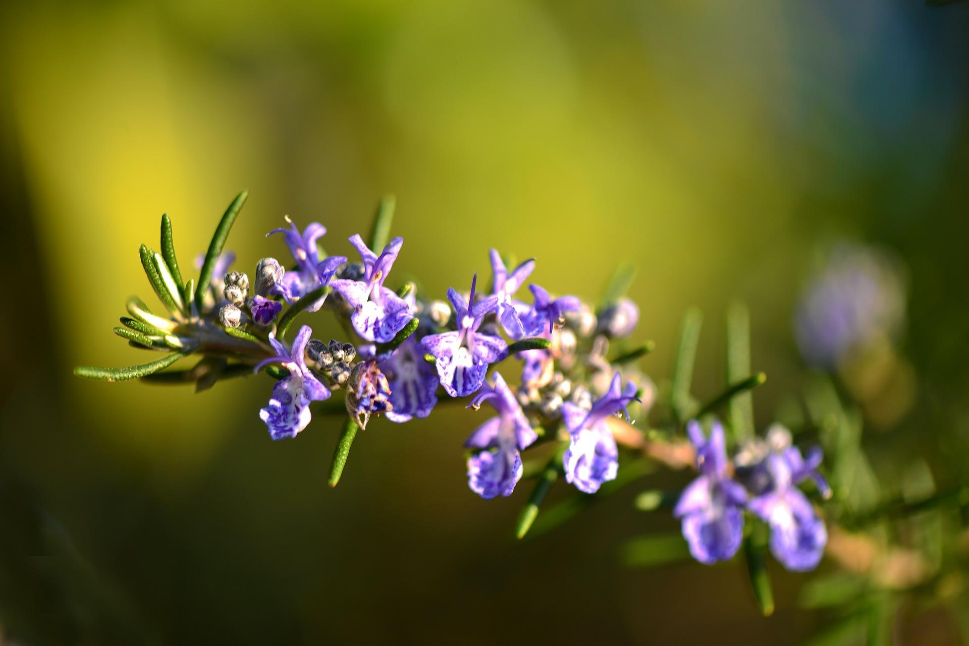 kwitnące kwiaty rozmarynu