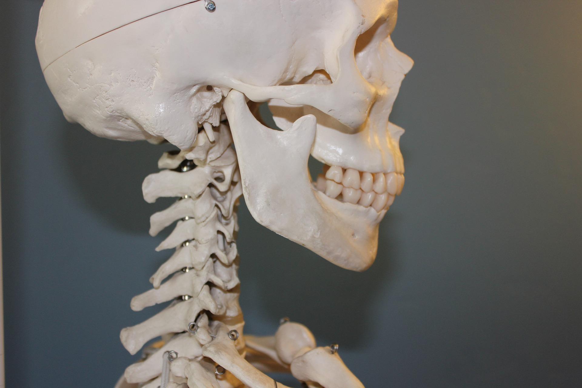 czaszka i kręgosłup szyjny