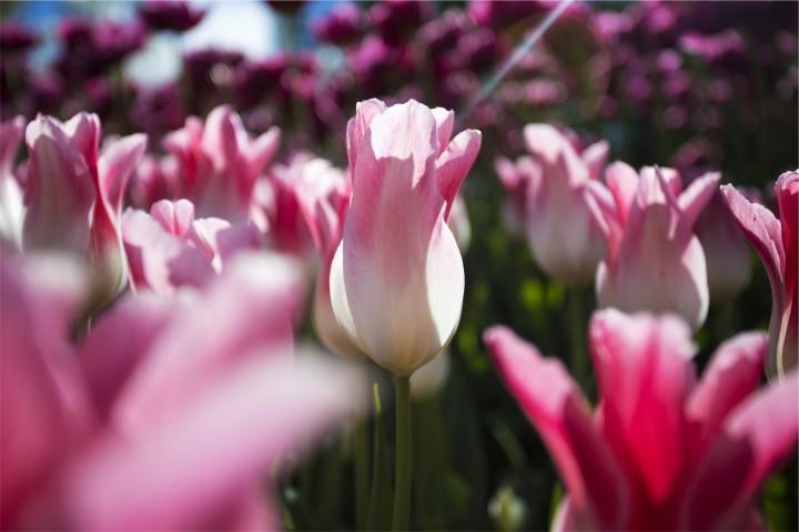różowe tulipany w słońcu