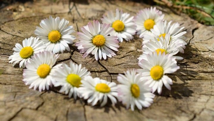 serce ułożone z wiosennych stokrotrk na pniu drzewa