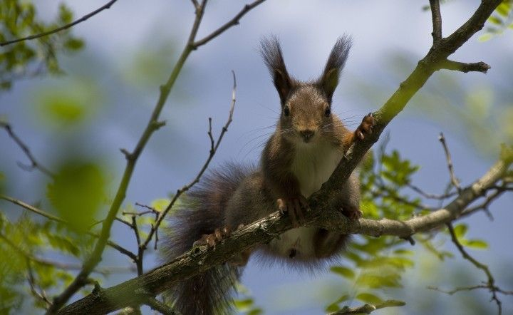 wiewiórka na gałęzi wiosennego drzewa