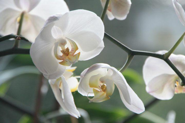 kremowo-białe storczyki