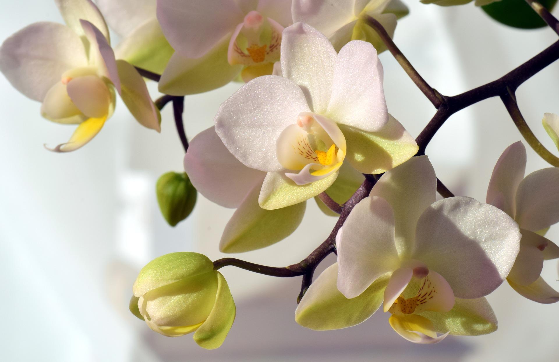 kremowe orchidee