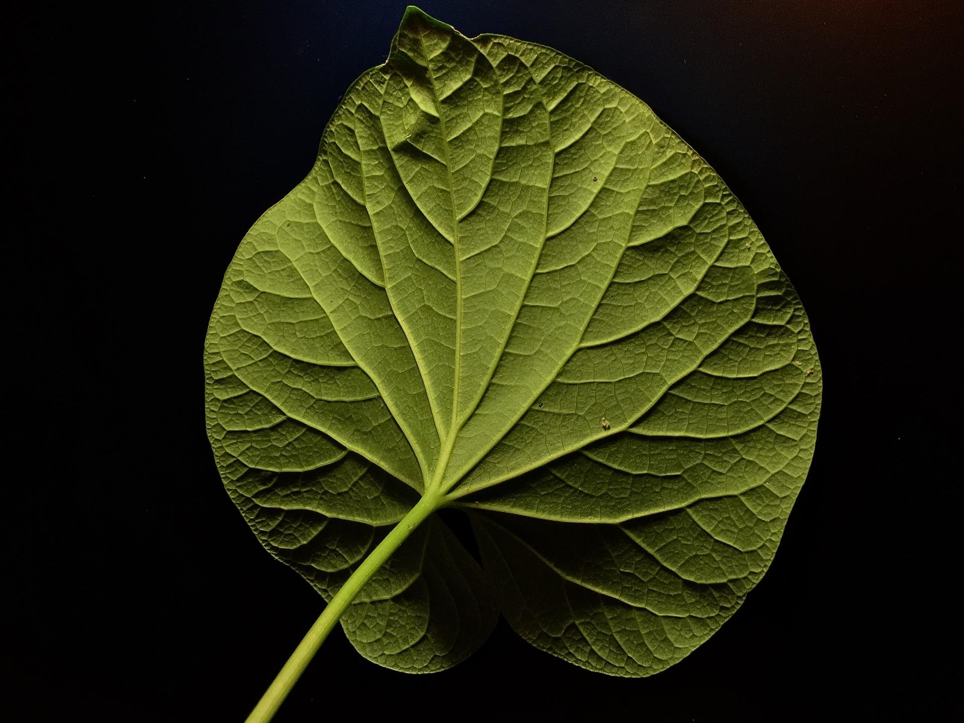 podświtlony liść